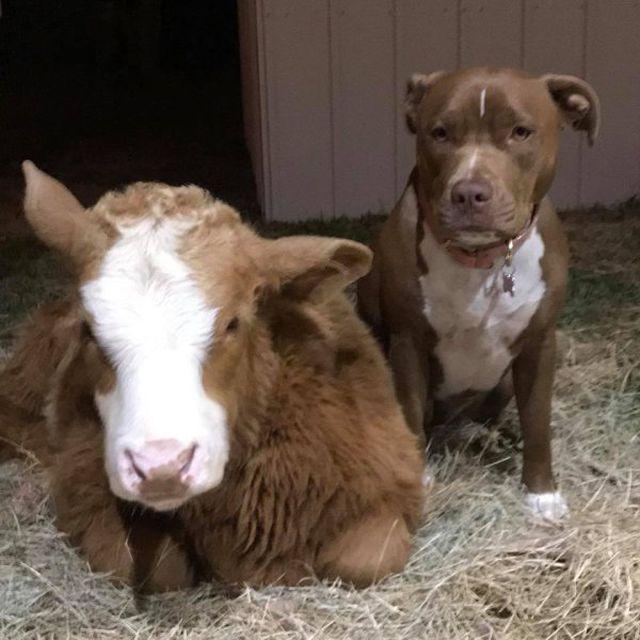 Спасенный в Техасе теленок думает, что он пес