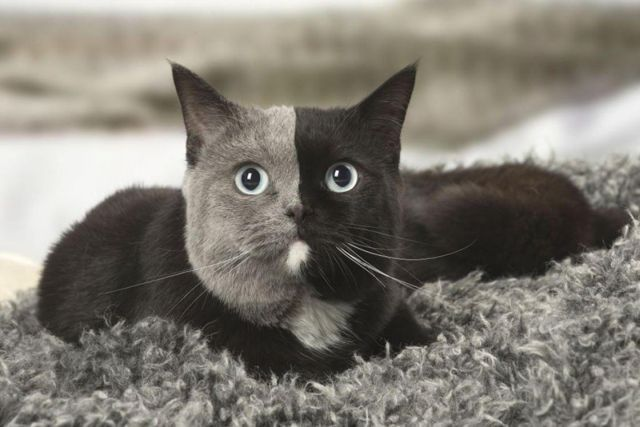 Двуликий кот Нарния – чудо кошачьего мира