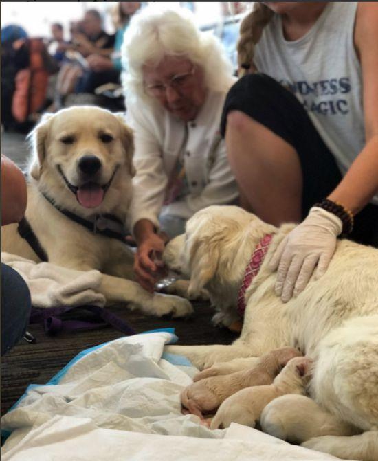 Собака-поводырь родила 8-х щенков в аэропорту