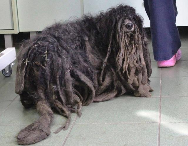 Зоозащитники спасли собаку, которая превратилась к сплошной комок шерсти