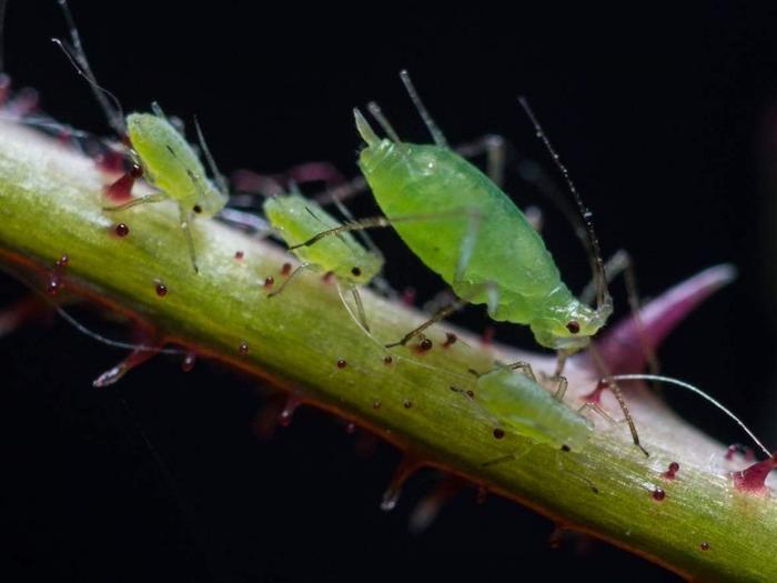 Тля: Сосать, рожать и фотосинтез