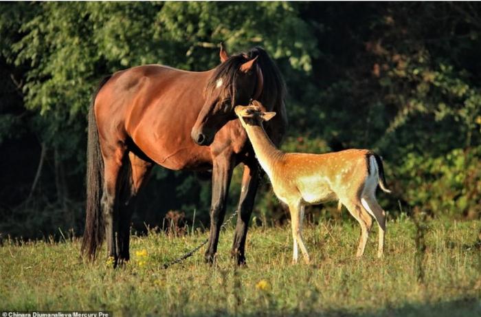 Каждое утро этот молодой олень приходит на пастбище к лошади, которую считает своей мамой.