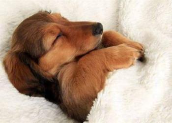 Двадцать собак устроившихся в кровати хозяина