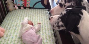 Малыш остался в комнате один на один с собаками! Родители и представить не могли чем это обернется! (15 фото)