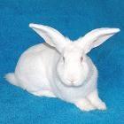Самые популярные породы кроликов и их особенности Самые популярные породы кроликов и их особенности