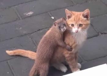 Друзья навсегда: Кот и ласка – друзья не разлей вода!