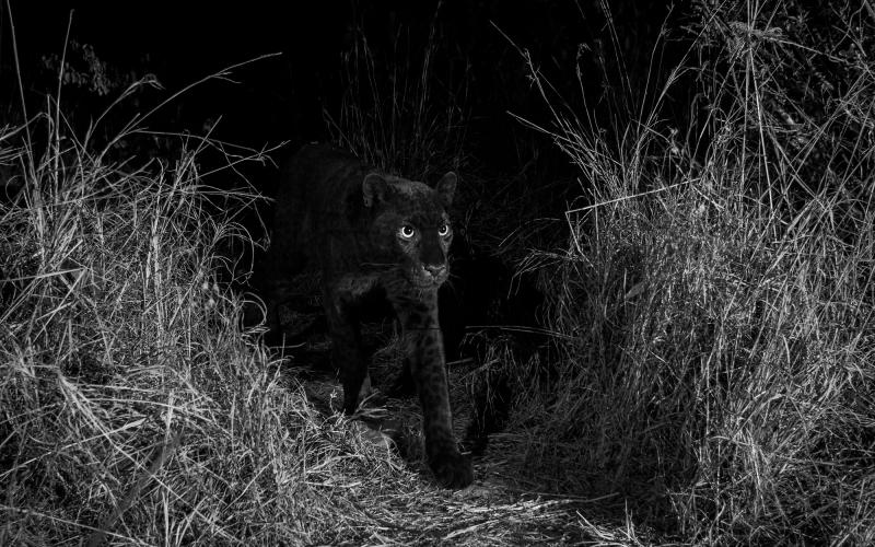 В Африке впервые за 100 лет заметили редкого чёрного леопарда