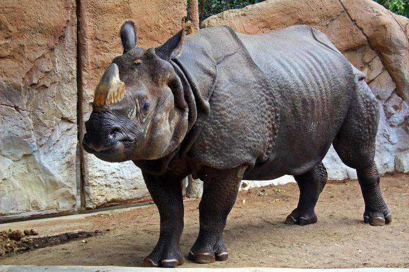 В Нидерландах молодому носорогу привезли зрелых самок для обучения искусству спаривания